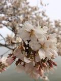 Επάνω στα στενά άνθη κερασιών Στοκ φωτογραφία με δικαίωμα ελεύθερης χρήσης