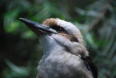 Επάνω στενός και προσωπικός με ένα πουλί Kookaburra Στοκ Εικόνα