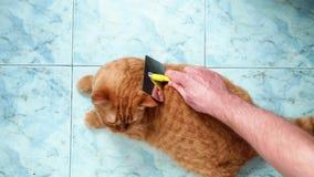 Επάνω στην άποψη των ανθρώπινων χεριών που κτενίζουν την κόκκινη βρετανική γάτα Η γάτα το συμπαθεί αλλά προσπαθεί να δραπετεύσει φιλμ μικρού μήκους