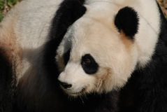 Επάνω στον περίβολο με την πανέμορφη γιγαντιαία Panda αντέξτε Στοκ Φωτογραφίες