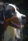 Επάνω στο στενό σχεδιάγραμμα ενός σκυλιού βουνών Bernese Στοκ φωτογραφίες με δικαίωμα ελεύθερης χρήσης
