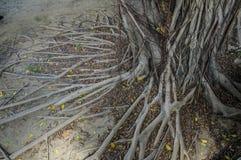 Επίγεια έννοια κλάδων ρίζας μεγάλων ηλικιών δέντρων Στοκ Εικόνες