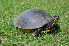 Επίγεια χελώνα Στοκ εικόνες με δικαίωμα ελεύθερης χρήσης