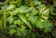Επίγειοι θάμνοι: pinnate φύλλα και χλόες στοκ εικόνες