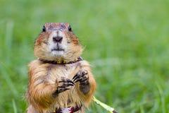Επίγειοι σκίουροι Στοκ Φωτογραφίες