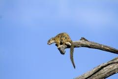 Επίγειος σκίουρος ακρωτηρίων Στοκ φωτογραφία με δικαίωμα ελεύθερης χρήσης