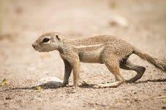 επίγειος σκίουρος ακρ& Στοκ Φωτογραφίες