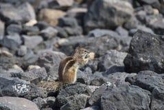 Επίγειος σκίουρος Βαρβαρίας Στοκ Φωτογραφία