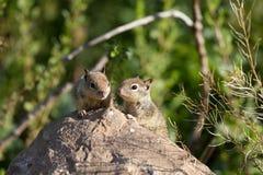 Επίγειος σκίουρος Καλιφόρνιας, beecheyi Otospermophilus Στοκ εικόνα με δικαίωμα ελεύθερης χρήσης