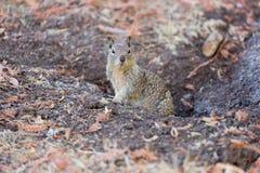 Επίγειος σκίουρος Καλιφόρνιας - beecheyi Otospermophilus Στοκ Φωτογραφία