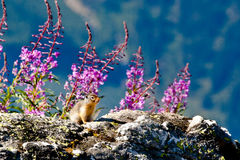 Επίγειος σκίουρος της Κολούμπια Στοκ Εικόνες