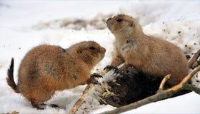 Επίγειος σκίουρος το χειμώνα Στοκ φωτογραφία με δικαίωμα ελεύθερης χρήσης