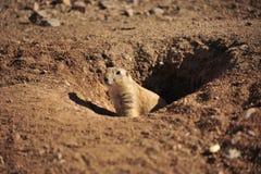 Επίγειος σκίουρος στοκ φωτογραφίες με δικαίωμα ελεύθερης χρήσης
