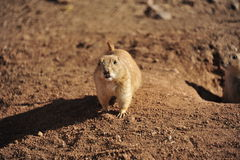 Επίγειος σκίουρος Στοκ φωτογραφία με δικαίωμα ελεύθερης χρήσης