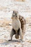 Επίγειος σκίουρος Στοκ εικόνες με δικαίωμα ελεύθερης χρήσης