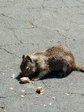 Επίγειος σκίουρος Στοκ Φωτογραφίες