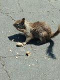 Επίγειος σκίουρος στοκ εικόνες