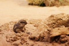 Επίγειος σκίουρος Anthelope Στοκ εικόνες με δικαίωμα ελεύθερης χρήσης