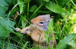 Επίγειος σκίουρος Thompson που τρώει τις εγκαταστάσεις Στοκ Εικόνες