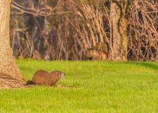 Επίγειο γουρούνι Στοκ φωτογραφία με δικαίωμα ελεύθερης χρήσης