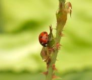 Επίθεση λαμπριτσών aphids Στοκ εικόνες με δικαίωμα ελεύθερης χρήσης