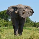 Επίθεση ελεφάντων Στοκ εικόνες με δικαίωμα ελεύθερης χρήσης