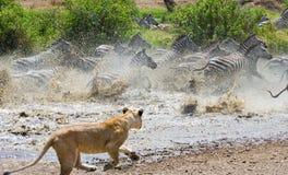 Επίθεση λιονταρινών σε ένα με ραβδώσεις Εθνικό πάρκο Κένυα Τανζανία mara masai serengeti Στοκ Εικόνες