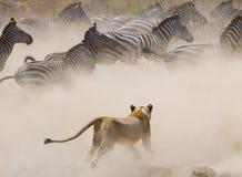 Επίθεση λιονταρινών σε ένα με ραβδώσεις Εθνικό πάρκο Κένυα Τανζανία mara masai serengeti Στοκ εικόνα με δικαίωμα ελεύθερης χρήσης