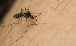 Επίθεση κουνουπιών Στοκ Φωτογραφία