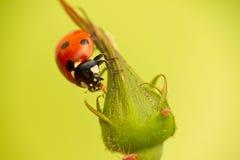 Επίθεση Ladybug aphids Στοκ φωτογραφίες με δικαίωμα ελεύθερης χρήσης