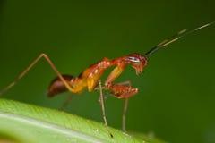 επίκληση νυμφών mantis κοκκινω& στοκ εικόνες