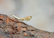 Επίκληση Mantis στο λουλούδι, πράσινα mantis Στοκ Φωτογραφίες