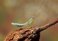 Επίκληση Mantis στο λουλούδι, πράσινα mantis Στοκ φωτογραφίες με δικαίωμα ελεύθερης χρήσης