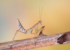 Επίκληση Mantis στο λουλούδι, πράσινα mantis Στοκ Εικόνα
