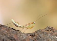 Επίκληση Mantis στο λουλούδι, πράσινα mantis Στοκ Εικόνες