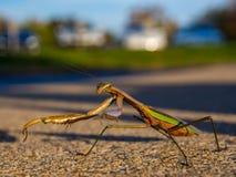 Επίκληση Mantis στο σκυρόδεμα Στοκ φωτογραφία με δικαίωμα ελεύθερης χρήσης