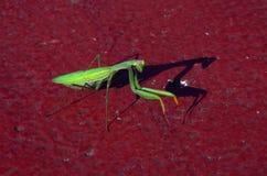 1 επίκληση mantis στοκ εικόνες