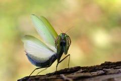 επίκληση mantis Στοκ φωτογραφία με δικαίωμα ελεύθερης χρήσης