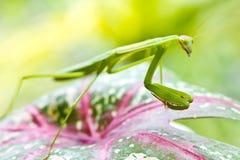 Επίκληση Mantis. Στοκ Εικόνες