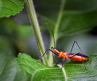 Επίκληση Mantis Στοκ Εικόνα