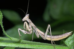 επίκληση mantis στοκ εικόνα με δικαίωμα ελεύθερης χρήσης