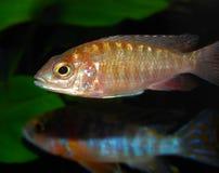 επίκτητη aulonocara εύκολα ακόμη και βάση SP lwanda χόμπι ψαριών γοητευτική όχι που Στοκ Φωτογραφία