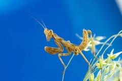 επίκληση mantis μικροσκοπική Στοκ Φωτογραφία