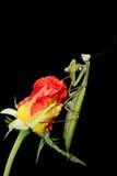 Επίκληση Mantis σε ένα μπουμπούκι τριαντάφυλλου Στοκ Εικόνες