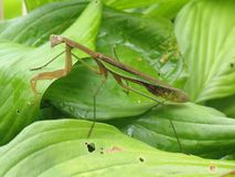 Επίκληση Mantis σε Hosta στοκ εικόνα