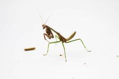 Επίκληση Mantis στο άσπρο σκηνικό Στοκ εικόνες με δικαίωμα ελεύθερης χρήσης