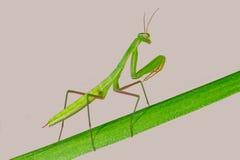 Επίκληση Mantis - religiosa Mantis Στοκ Εικόνες