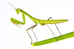 Επίκληση Mantis - religiosa Mantis Στοκ Εικόνα
