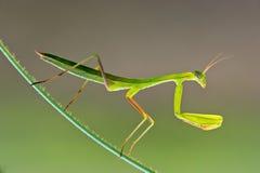 Επίκληση Mantis - religiosa Mantis Στοκ Φωτογραφίες