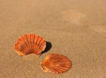 επίπεδα κοχύλια δύο θάλασσας άμμου Στοκ Εικόνα